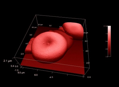 Erythrocytes (human red blood cells) in AFM Tapping Mode